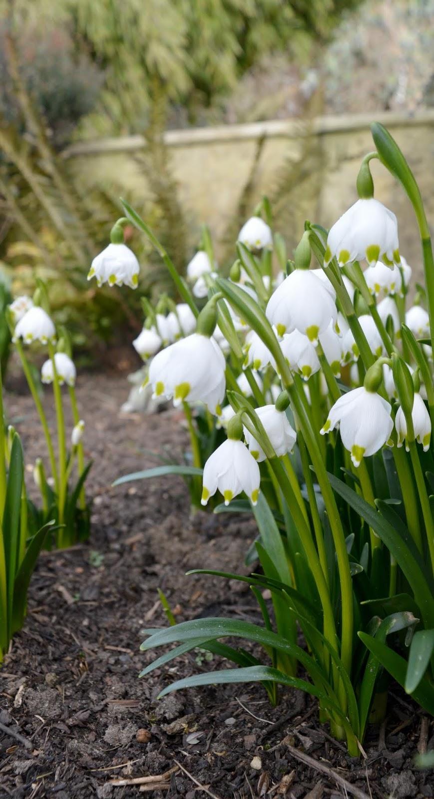 Belsay Castle Snowdrop Walk