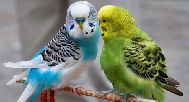 Ternak Burung Parkit yang menguntungkan