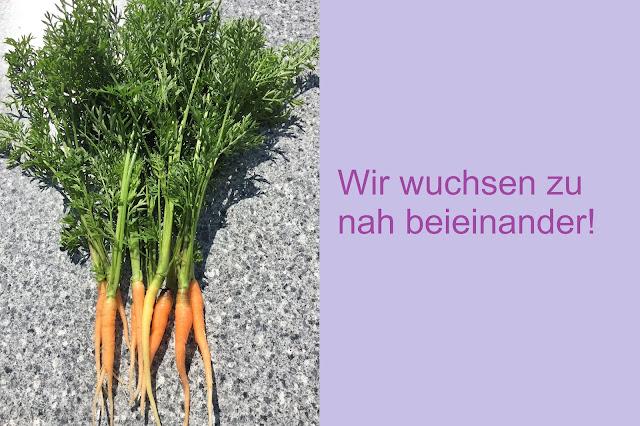 Karotten wuchsen zu nah beieinander
