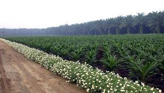 Teknis pengelolaan hama kelapa sawit secara terpadu