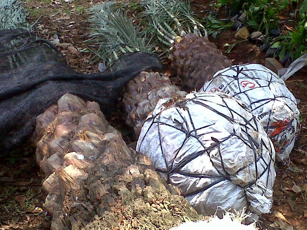 Jual pohon kurma jenis tanaman palem | supplier tanaman pelindung