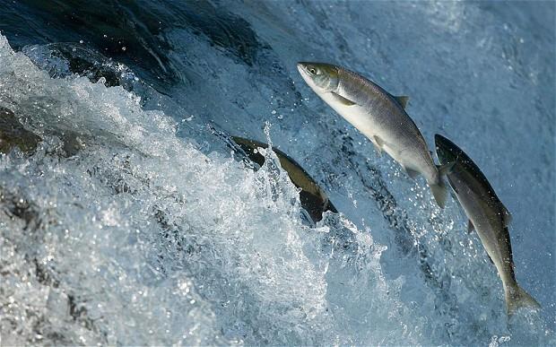 Nằm ngủ nằm mơ thấy cá hồi có ý nghĩa gì?