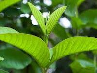 Manfaat daun jambu biji untuk wajah