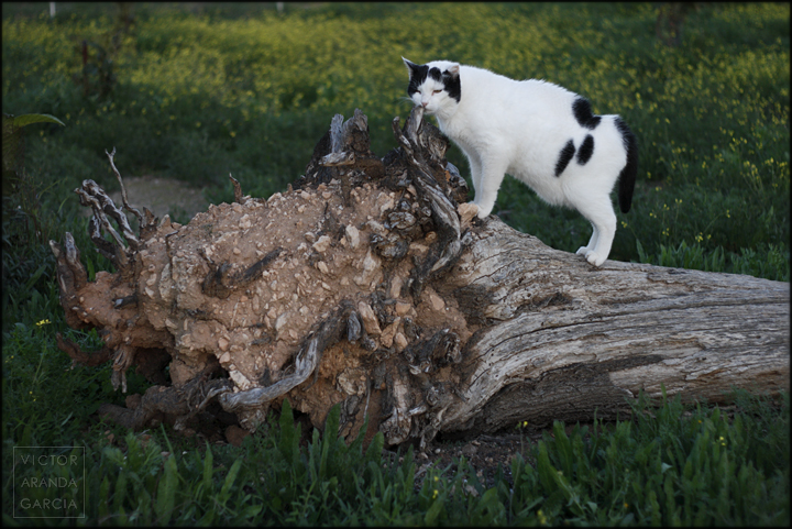 gato,arbol,naturaleza,mondadientes,campo,fuente-alamo,murcia