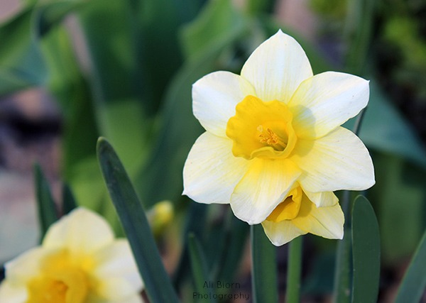 Yellow and White Daffodils blooming in the spring