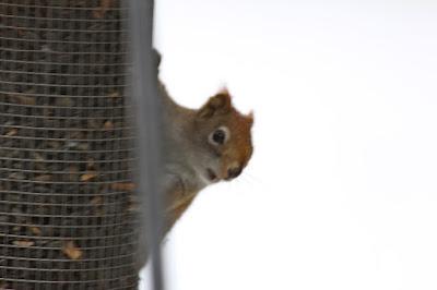 """red squirrel at """"bird"""" feeder"""