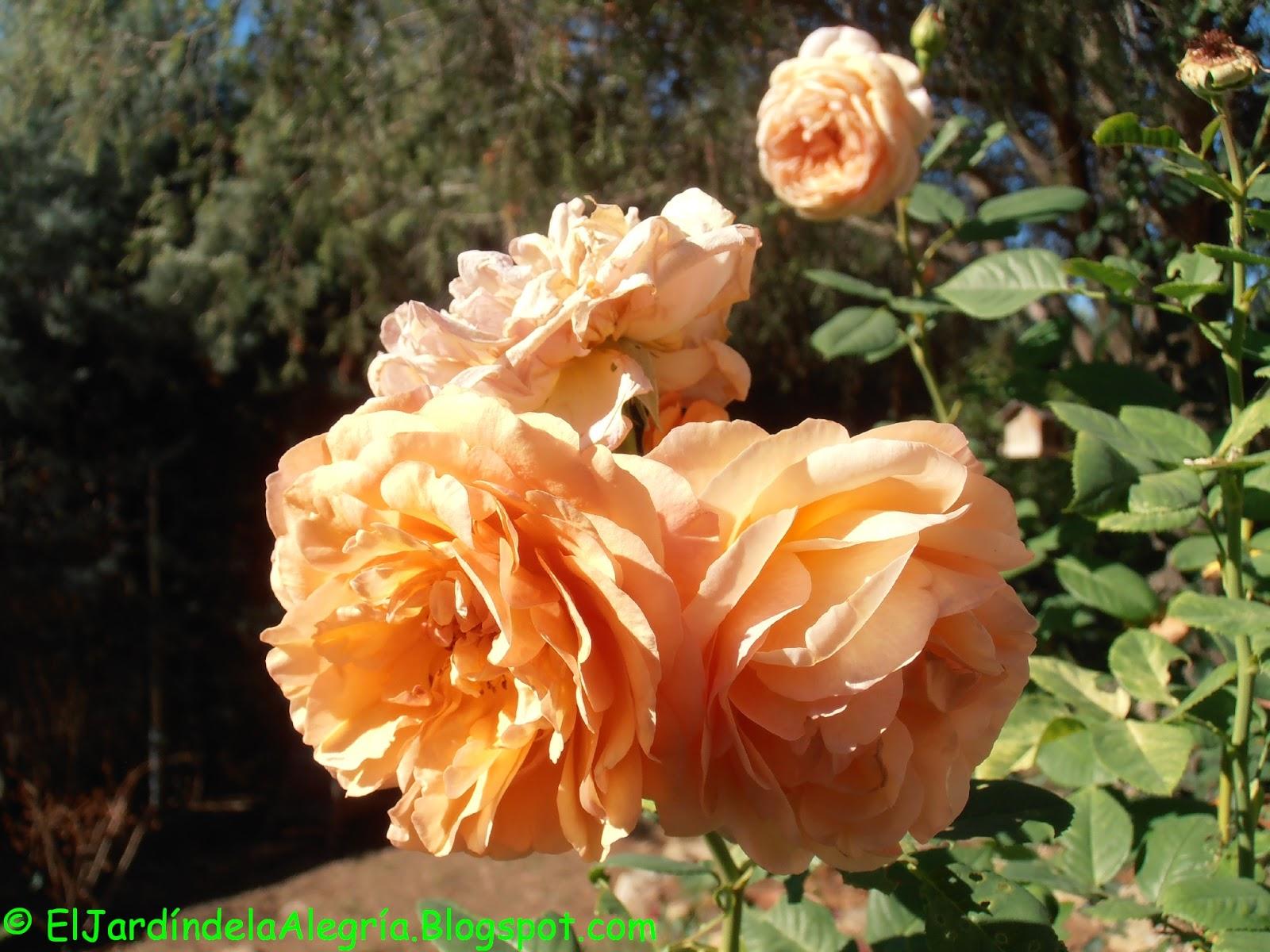 El Jardin De La Alegria Rosales En Septiembre La Recuperacion