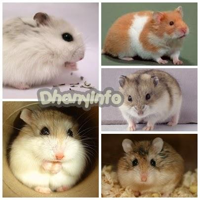 Jenis-Jenis Hamster