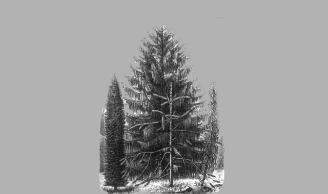Fichtenbäume
