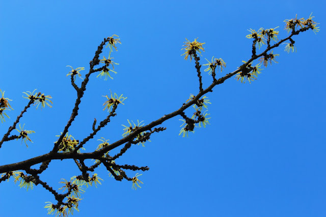 Witch hazel at Hodsock Priory