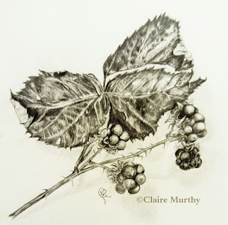 blackberries botanical art sketch
