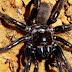 Avispa mata la araña más vieja del mundo