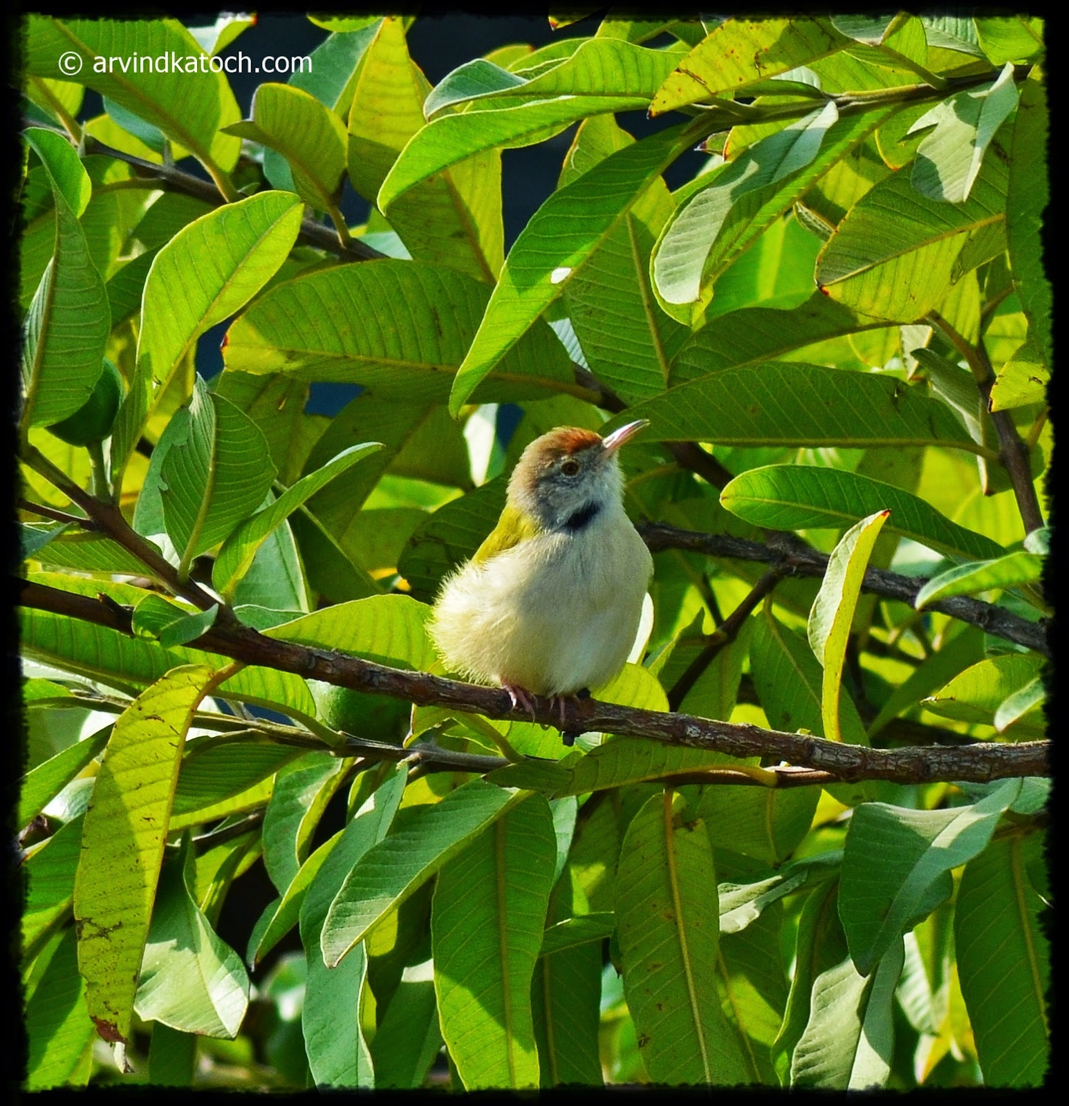 Small Bird, Songbird, Common Tailorbird