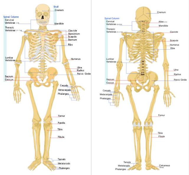 Penjelasan Lengkap Sistem Rangka Manusia dan Hewan