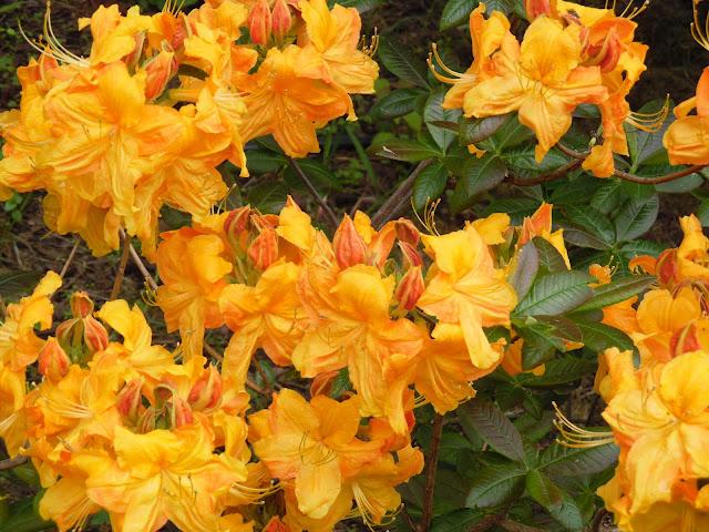 rhododendron Klondyke
