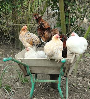 Organic hens and gardening