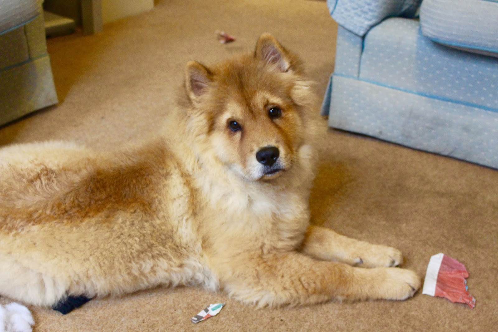 chow chow puppy UK