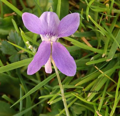 Pequeñas bracteas en el peciolo de Viola riviniana
