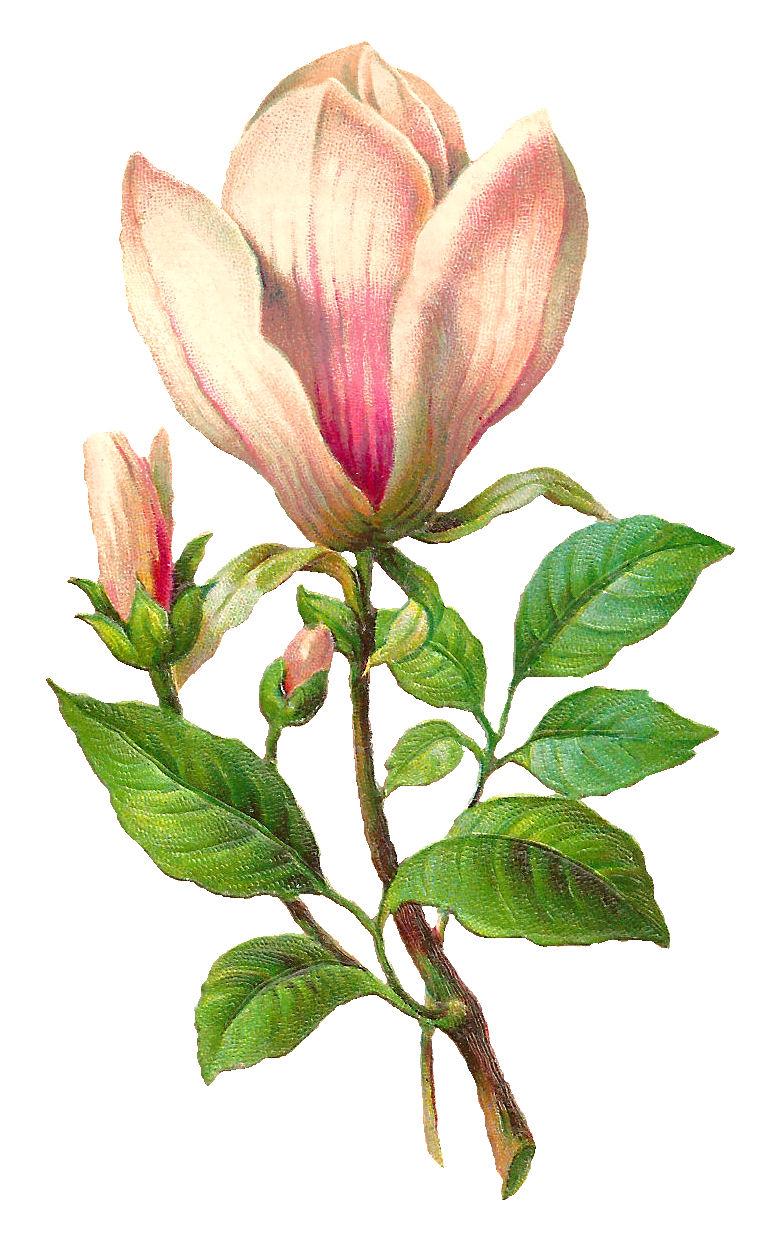 antique images free flower download botanical art image
