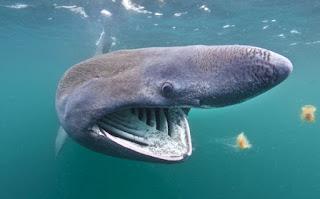 ikan hiu jenis Cetorhunis maximus
