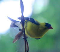Yellow bird, trying to get inside the house, through the window :) All Pretty Things