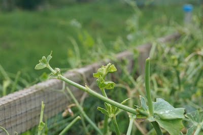 bird pecked mangetout plants - 'growourown.blogspot.com'