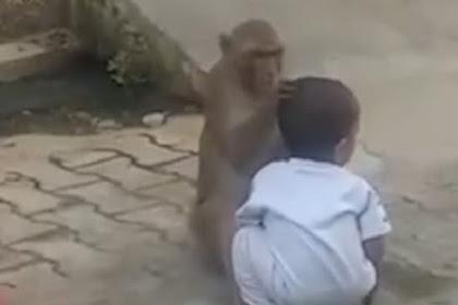 Video Monyet Culik Balita Hanya untuk Diajak Bermain