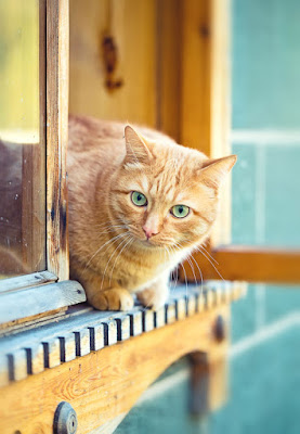 A ginger cat looks out of a window