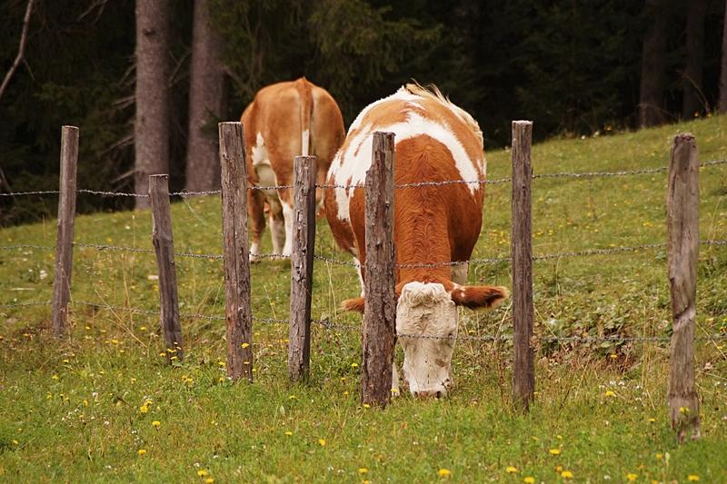 Urlaub im Lungau, Österreich, im September: Wandern und Kühe