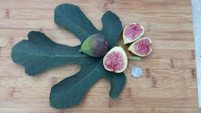 Dartmouth fig