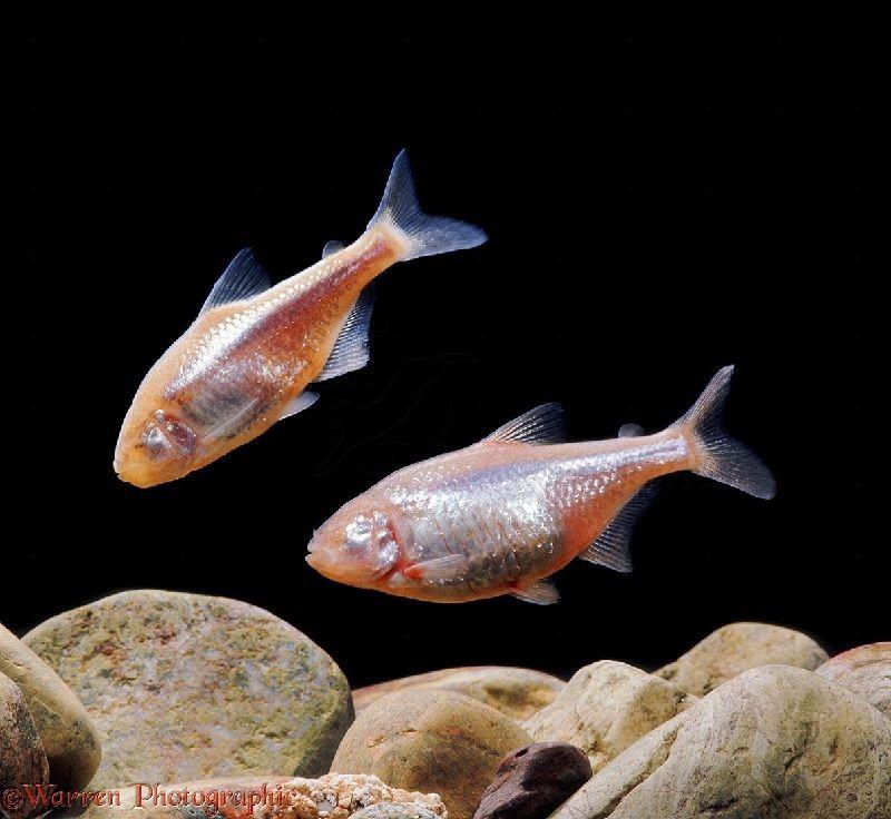 manfaat Ikan Mata Buta