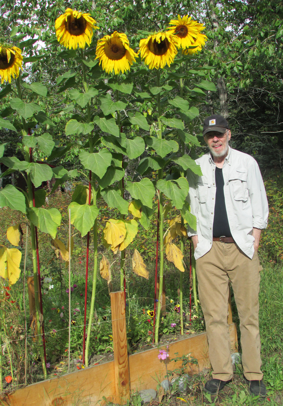 Stalking Elusive Trophy Sunflower >> Alaska With Attitude Garden
