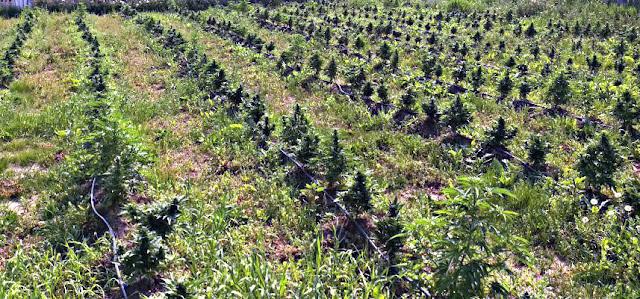 שדה של צמחי קנאביס אוטומטיים