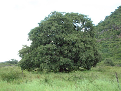 The national tree is the Ficus thonningii