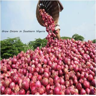 how to grow onions in the southern nigeria and make money