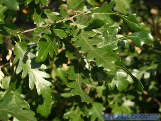 Photos de feuilles de chêne - Quercus divers