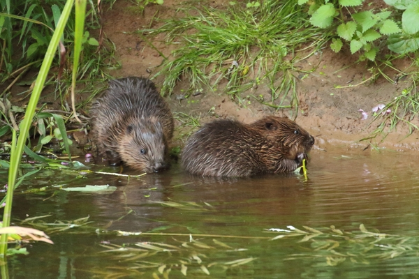 River Otter beaver kits - Photo copyright Mike Symes.(All Rights Reserved)