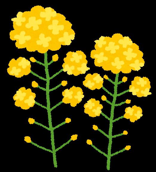 菜の花のイラスト かわいいフリー素材集 いらすとや
