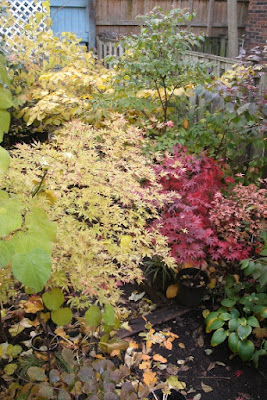 ukigumo Japanese maple and other shrubs in autumn by garden muses: a Toronto gardening blog