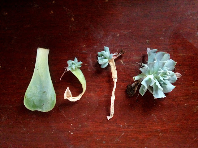 It's easy to multiply your succulent love- just propagate them with this easy little guide!