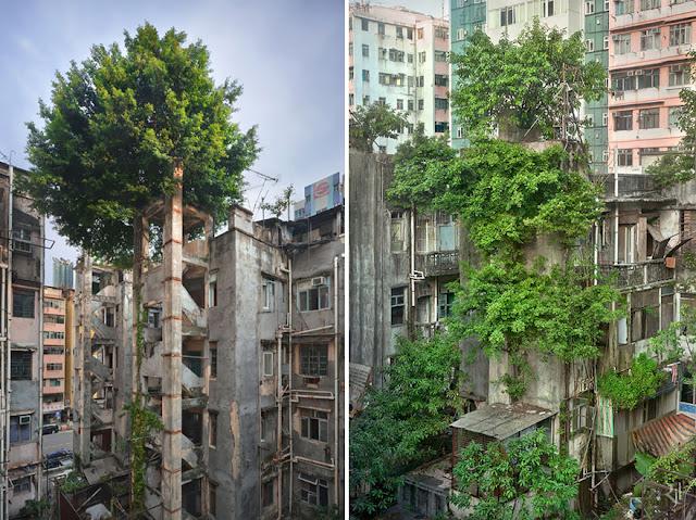 أشجار تتوغل في قلب العمران–هونج كونج