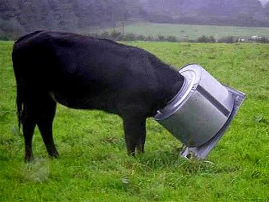 Vaca cabeça entalada em balde