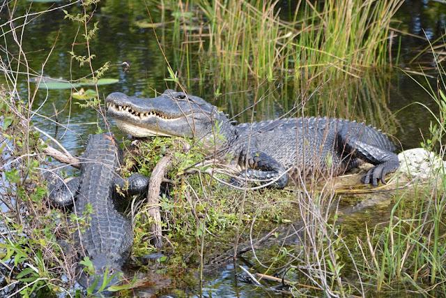 Palm Tree Everglades alligator