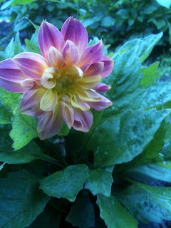 Dahlias are great in the cottage garden