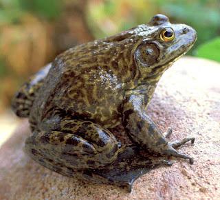broască-taur