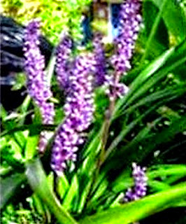 Lily Turf, Liriope muscari Air Cleaner