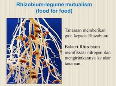 Simbiosis mutualisme antara Rhizobium dan kacang-kacangan