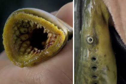 Ini Dia Ikan Penghisap Darah yang Mengerikan