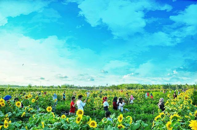 Kebun Bunga Matahari Bantul, Spot Romantis Untuk Hunting Foto
