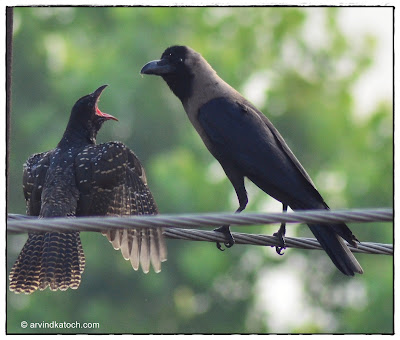 Crow, feeding, Juvenile, Asian Keol, Female,